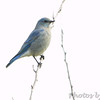 Mountain Bluebird <br /> This is at approx. 17 yards <br /> SE 341 Rd, Johnson County, Missouri