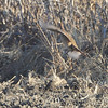 11/20/12 Return to Muskrat Lake <br /> Ring-necked Pheasant <br /> Saint Joseph, MO