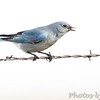 Mountain Bluebird <br /> SE 341 Rd, Johnson County, Missouri
