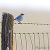 Mountain Bluebird <br /> First spotted on fence about 25 yards ahead <br /> SE 341 Rd, Johnson County, Missouri