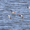 Red-breasted Mergansers <br /> Smithville Lake