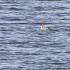 Red-breasted Merganser <br /> Smithville Lake