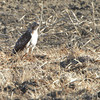 Red-tailed Hawk <br /> Muskrat Lake <br /> Saint Joseph, MO
