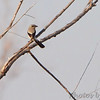 Northern Shrike <br /> Muskrat Lake <br /> Saint Joseph, MO