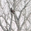 Last stop of day at Squaw Creek National Wildlife Refuge <br /> Dark Red-tailed Hawk <br /> 11/19/12
