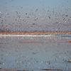 Snow Geese <br /> Squaw Creek National Wildlife Refuge