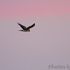 Last stop of day at Squaw Creek National Wildlife Refuge <br /> Northern Harrier <br /> 11/19/12