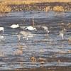 Sandhill Cranes, Trumpeter Swans <br /> Squaw Creek National Wildlife Refuge
