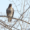 Red-tailed Hawk <br /> Squaw Creek National Wildlife Refuge