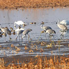Sandhill Cranes, Trumpeter Swans <br /> and Green-winged Teal <br /> Squaw Creek National Wildlife Refuge