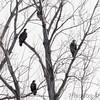 Bald Eagles <br /> Squaw Creek National Wildlife Refuge