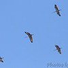 Sandhill Cranes <br /> Faust Park