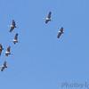 Sandhill Cranes <br /> flying over Faust Park