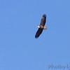 Bald Eagle <br /> Faust Park