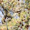 Red Crossbill and Pine Siskin <br /> Faust Park