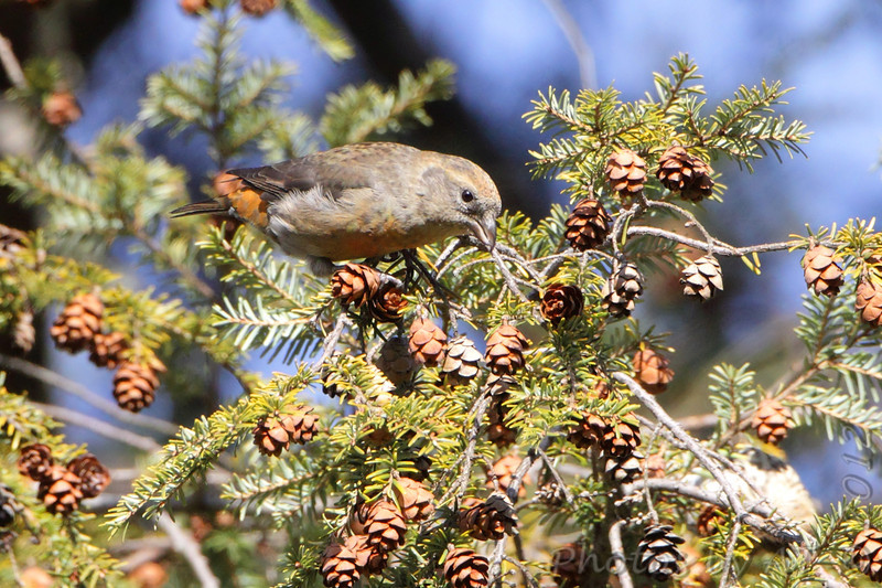 Red Crossbill <br /> Faust Park