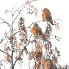 Red Crossbill (males)<br /> Faust Park