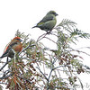 Red Crossbill (male and female)<br /> Faust Park