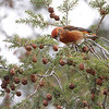 Red Crossbill (male)<br /> Faust Park