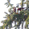 White-winged Crossbills <br /> Faust Park <br /> St. Louis County, Missouri