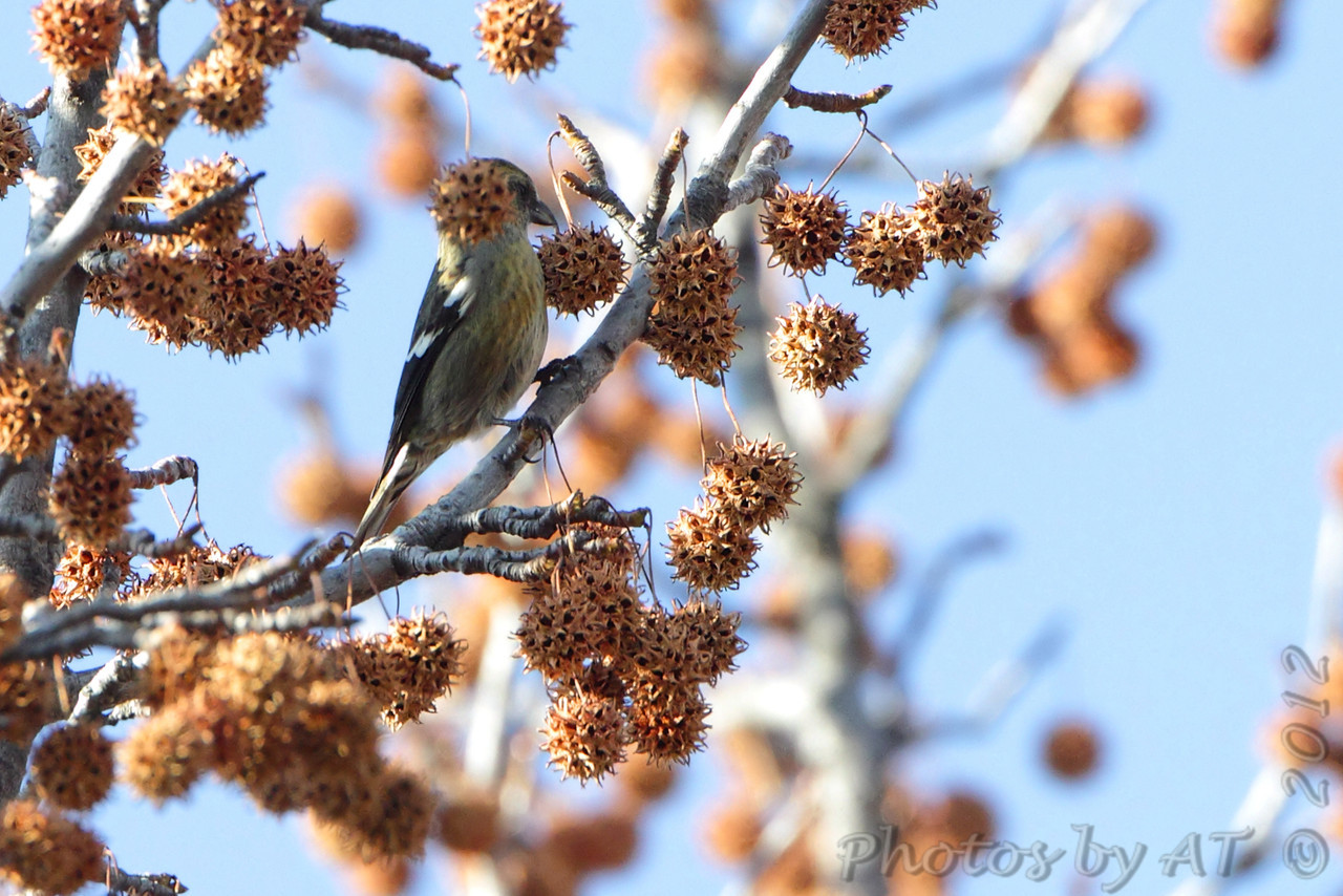 White-winged Crossbill <br /> Faust Park <br /> St. Louis County, Missouri