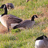 Cackling Goose (Richardson's) <br /> Teal Pond <br /> Riverlands Migratory Bird Sanctuary