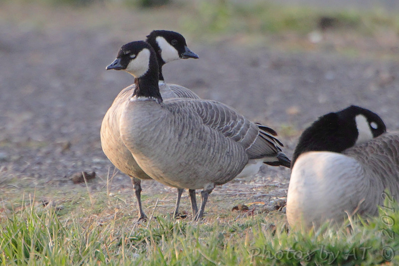 Cackling Geese (Richardson's)<br /> Teal Pond <br /> Riverlands Migratory Bird Sanctuary
