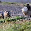 Cackling Geese (Richardson's) <br /> Teal Pond <br /> Riverlands Migratory Bird Sanctuary