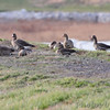 Greater White-fronted Geese<br /> Teal Pond <br /> Riverlands Migratory Bird Sanctuary