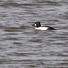 Common Goldeneye <br /> Teal Pond <br /> Riverlands Migratory Bird Sanctuary
