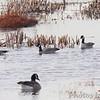 Cackling Geese (Richardson's) <br /> Teal Pond over south  levee <br /> Riverlands Migratory Bird Sanctuary