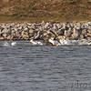 American White Pelican <br /> Teal Pond <br /> Riverlands Migratory Bird Sanctuary