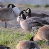 Cackling Geese (Richardson's)<br /> Teal Pond <br /> Riverlands Migratory Bird Sanctuary