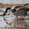 Greater White-fronted Goose/Canada Goose<br /> Hybrid that's been hanging around for a couple years I think.<br /> Riverlands Migratory Bird Sanctuary