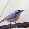 Red-breasted Nuthatch <br /> City of Bridgeton <br /> St. Louis County, Missouri <br /> 11/21/2012