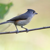 Tufted Titmouse <br /> Columbia Bottom Conservation Area