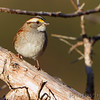 White-throated Sparrow <br /> Audubon Trails Nature Center <br /> Rolla, Mo.