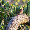 Winter Wren <br /> Audubon Trails Nature Center <br /> Rolla, Mo.