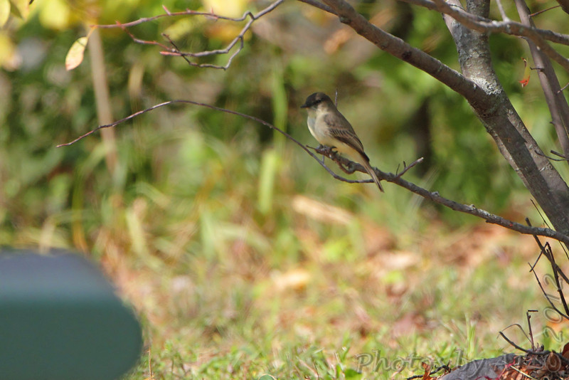 Eastern Phoebe <br /> Riverwoods Park and Trail <br /> Bridgeton, Mo.