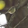 Ruby-crowned Kinglet <br /> Riverwoods Park and Trail <br /> Bridgeton, Mo.