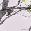 Magnolia Warbler <br /> Riverwoods Park and Trail <br /> Bridgeton, Mo.
