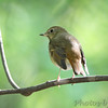 Hermit Thrush <br /> Riverwoods Park and Trail <br /> Bridgeton, Mo.
