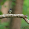Eastern Wood-Pewee <br /> Riverwoods Park and Trail <br /> Bridgeton, Mo.