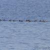 Ruddy Ducks <br /> Ellis Bay <br /> Riverlands Migratory Bird Sanctuary