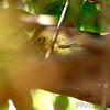 Orange-crowned Warbler <br /> Bridgeton Riverwoods Park and Trail