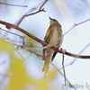 Yellow-rumped Warbler <br /> Bridgeton Riverwoods Park and Trail