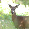 Whitetail Deer <br /> Bridgeton Riverwoods Park and Trail