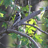 Downy Woodpecker <br /> Two Rivers National Wildlife Refuge, Illinois