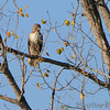 Red-tailed Hawk <br /> Two Rivers National Wildlife Refuge, Illinois