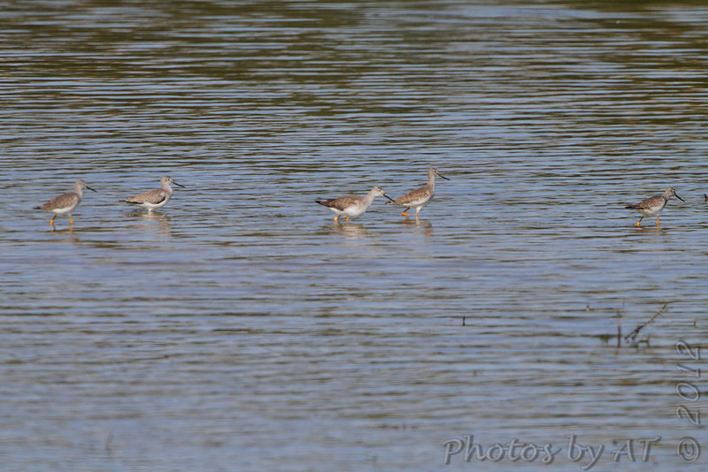Greater Yellowlegs <br /> Two Rivers National Wildlife Refuge, Illinois